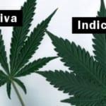Indica và Sativa: khác biệt giữa hai loài