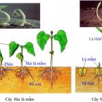 Sự khác nhau giữa cây 1 lá mầ và 2 lá mầm