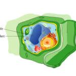 Sự khác biệt chủ yếu giữa không bào và túi tiết