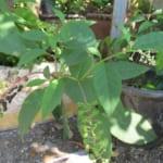 Cây Thương Lục có tác dụng gì? Phân biệt cây Thương Lục và Nhân Sâm