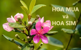 phân biệt hoa sim và hoa mua